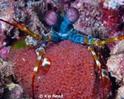 Peacock mantis shrimp with eggs by Kip Nead 